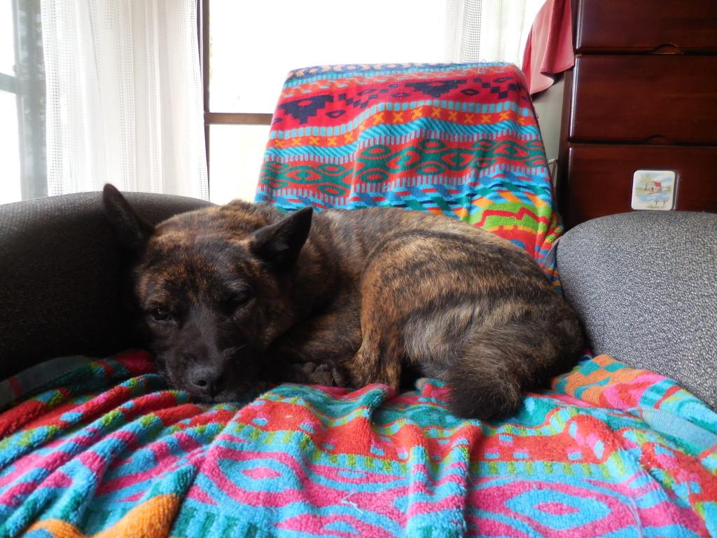 ※犬と暮らすのが子供のころからの夢だった、こうして共に暮らすようになりとうとう実現したことになる