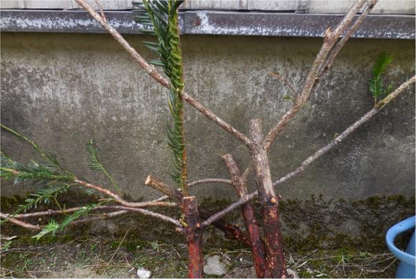 両方に広く枝を張った栢木 このようなものがタモに適している