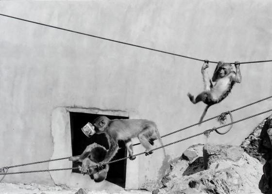 サルが島で遊ぶサルたち