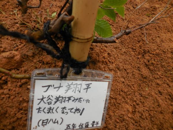 ブナ植樹7