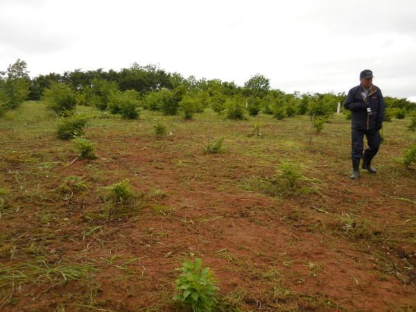 ブナ植樹4